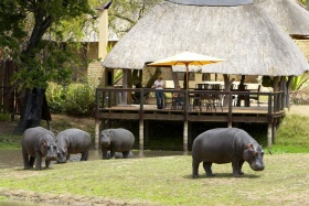Hippo Visitors at Arathusa Safari Lodge