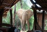 Inquisitive elephant at Galdessa