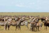 Kichwa tembo plains zebra,  Maasai Mara