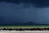 Kichwa tembo storm gathering,  Maasai Mara