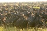 Kichwa tembo wildebeest,  Maasai Mara