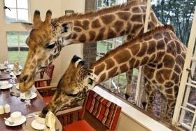 Giraffe manor - dinner visitors, Nairobi, Kenya