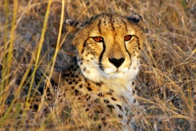 Cheetah at sunset, phinda game reserve
