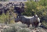 Desert rhino camp rhinos da palmwag