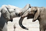 Etosha elephants oe