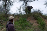 Elephant on river bank, bateleur bush walk
