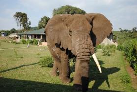Elephant visitor to Rhino Lodge