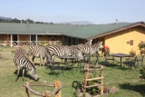 Zebra on the lawn at Rhino Lodge