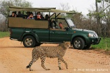 Game drive with leopard