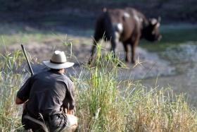 Buffalo on Bush Walk, Senalala Luxury Camp, Klaserie