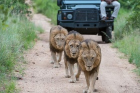 Three male lions on game drive