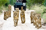Lion Pride on game drive, Sabi Sand Wildtuin