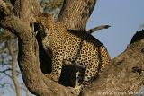 Kirkman's Kamp Leopard