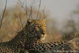 Leadwood Leopard