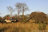 Leadwood Elephant