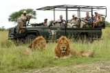 Lions on game drive, Inyati