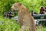 Leopard game drive at Inyati