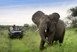 Elephant on game drive at Phinda Forest Lodge
