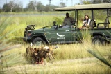Nxabega Okavango Tented Camp, game drive with wild dogs