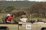 Elephants alongside open safari vehicles, Thakadu River Camp, Madikwe Game Reserve