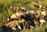 Wild dogs at DumaTau
