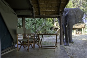 Flatdogs elephant in camp