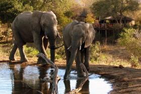 Elephant Guests Umlani Bushcamp