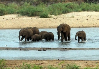 Kruger National Park elephant family