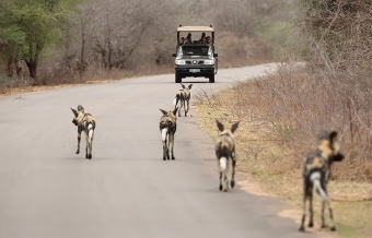 Open vehicle safari in Kruger Park