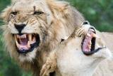 Lions in Kruger