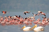 Flamingos at Nakuru