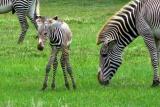Grevys-zebra-foal
