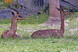 Male and female gerenuk