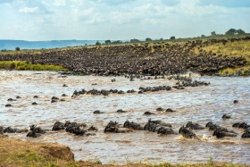 Wildebeest migration - largest of its kind in the world, Maasai Mara, Kenya