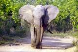 Elephant at Tsavo