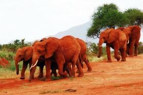 Red elephants of Tsavo, Kenya