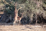 Gazelle gerenuk