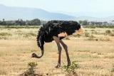 Somali ostrich-samburu national reserve, kenya