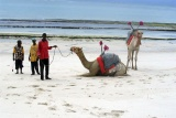 Camels on diani beach, near mombasa kenya