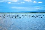 Coots on Lake Naivasha, Kenya