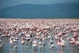 Flaming flamingos at Lake Nakuru, Kenya