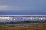 Water birds lake nakuru, kenya