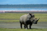 White rhino lake nakuru, kenya