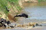 Wildebeest leaps into the river