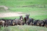 Wildebeest herds, Maasai Mara