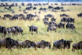 Herds across the Mara Plains, Kenya