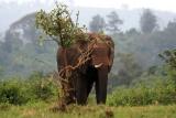 Elephant in Aberdare np kenya