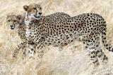 Cheetah at meru np  kenya