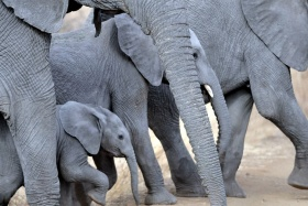 Elephants at Meru
