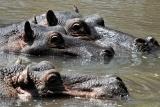 Meru hippo